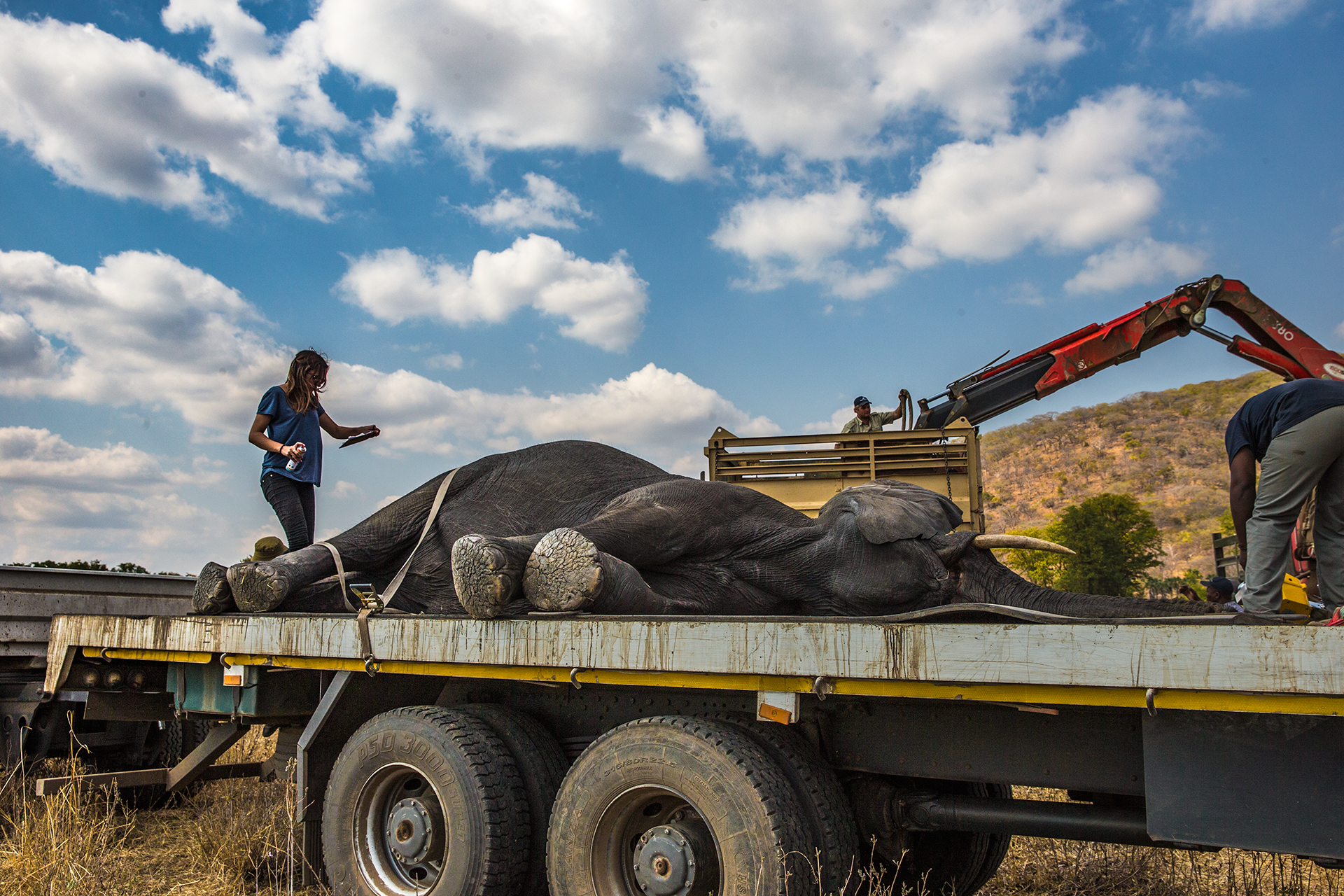 A tranqulised elephant awaits transport. Photo by Anita Mishra.