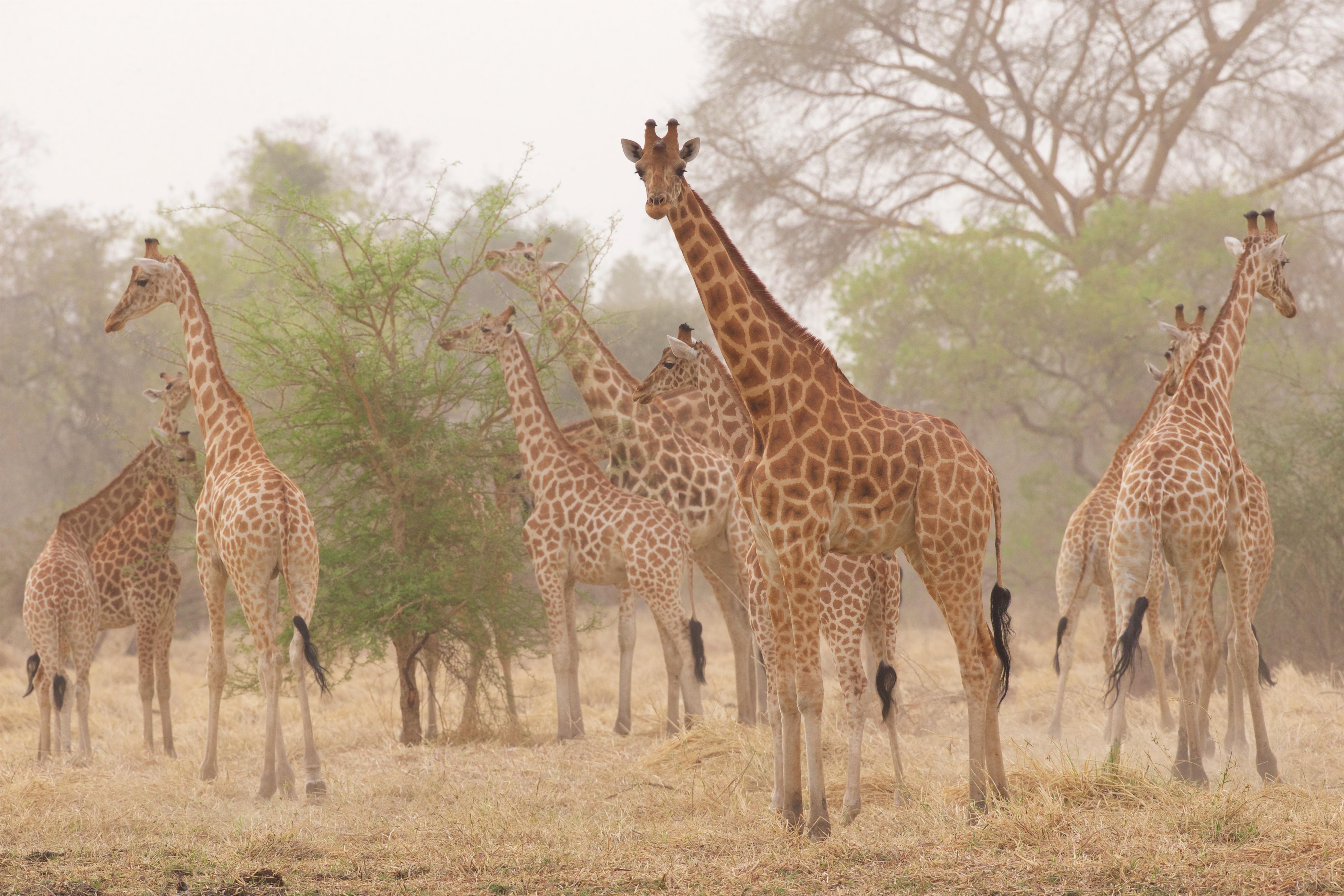 Kordofian-giraffe-Michael-Lorentz