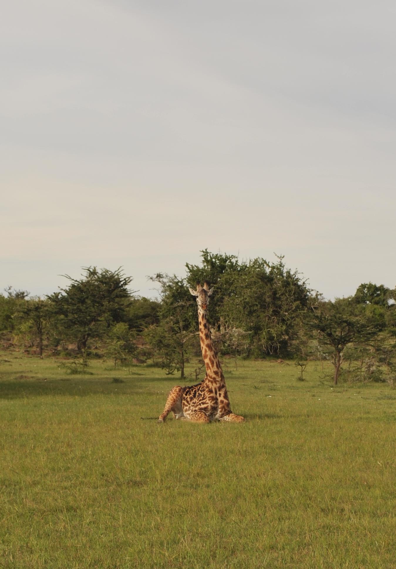 Masai-giraffe-Anton-Crone