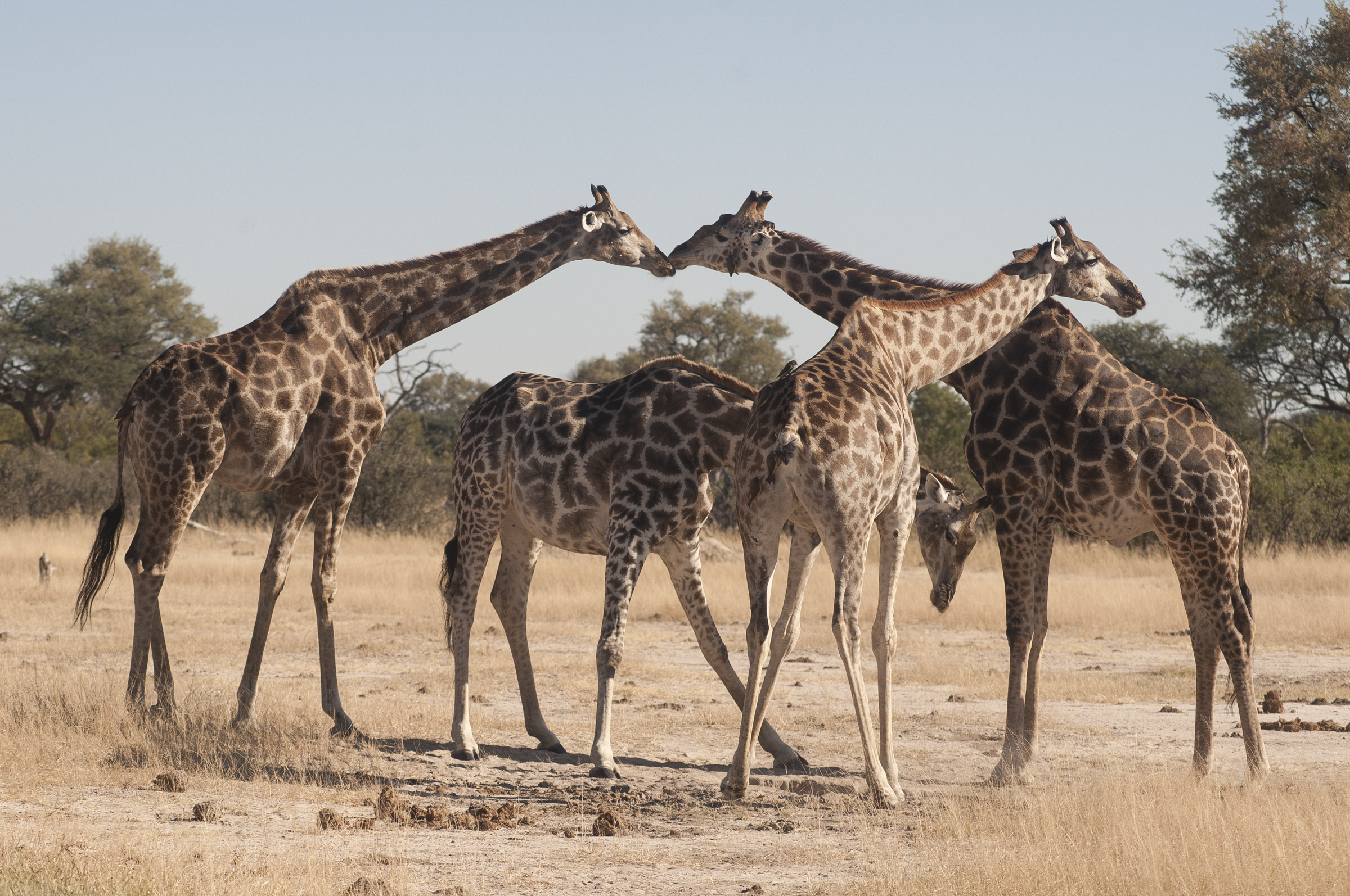Southern-giraffe-subspecies-South-African-giraffe-Anton-Crone