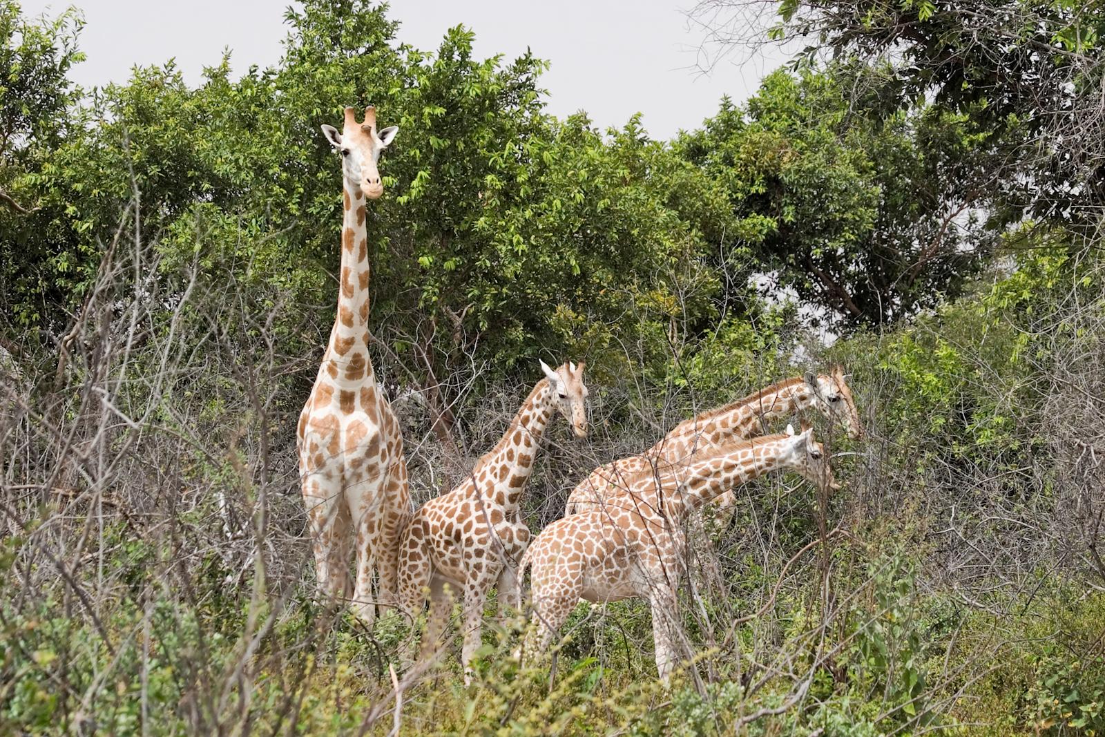 West-African-giraffe-Matthew-Paulson